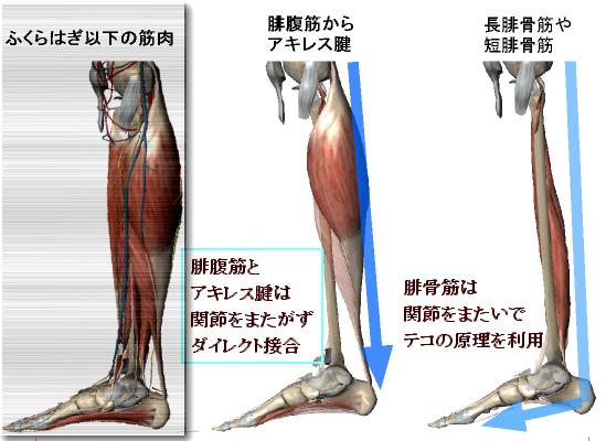 ふくらはぎ以下の腓腹筋と腓骨筋.png