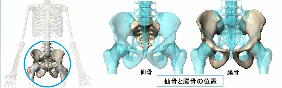 仙骨と腸骨の位置.png
