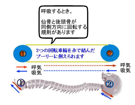 呼吸の仙骨と後頭骨の動き.png