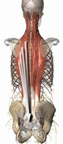 尾椎へ伸びる背中の筋肉たち.png