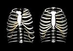 肋骨.png