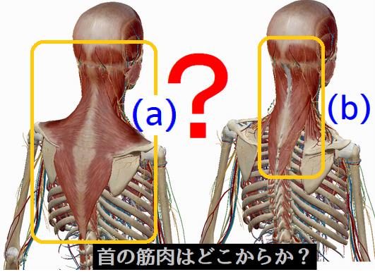 背面の首の筋肉はどこから?.png