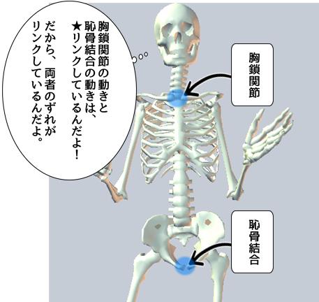 胸鎖関節と恥骨結合.png