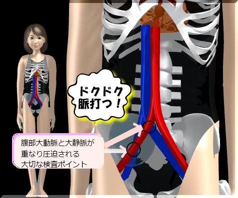 腹部大動脈-解説つき.png