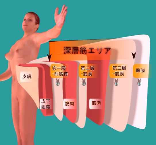 腹部筋膜3層.png