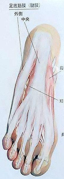 足底腱膜.jpg