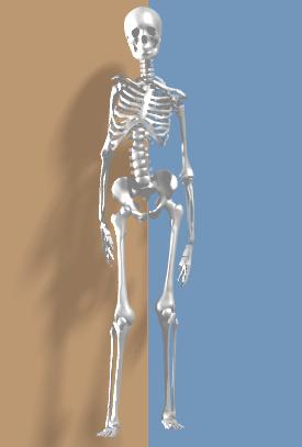 首が右に曲がり右肩が上に上がることでL字歪曲した脊柱となりました.png