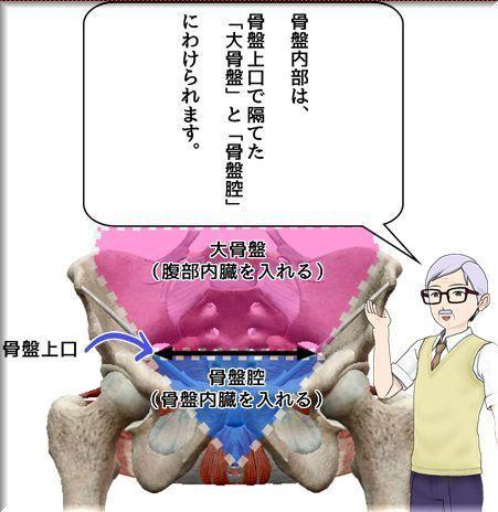 骨盤内部は大骨盤と骨盤腔にわかれる.jpg