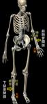 骨間膜図.png