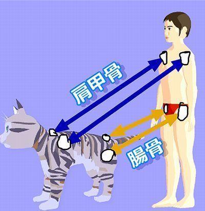 ねことひとの肩甲骨と腸骨イメージ.jpg