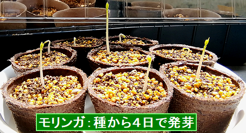モリンガ種から4日で発芽しました!.png