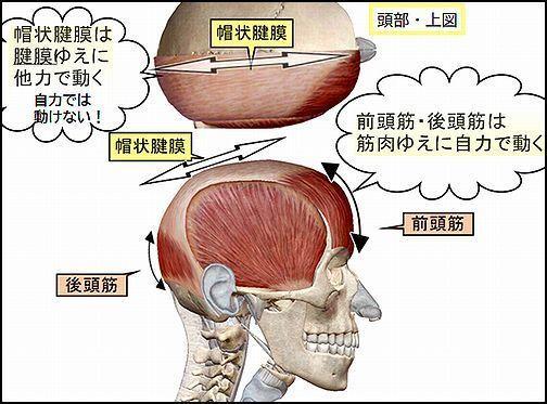 前頭後頭筋と側頭筋と帽状腱膜.jpg