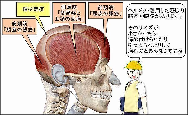 前頭後頭筋と側頭筋1.jpg