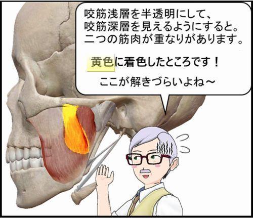 咬筋の浅層と深層の重なり部分.jpg