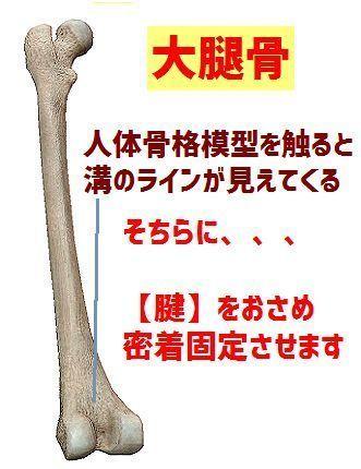 大腿骨イメージ.jpg