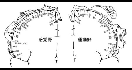 左が一次体性感覚野の地図。右が一次運動野の地図。.png