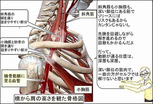 斜角筋と小胸筋を通る腕の動脈.jpg