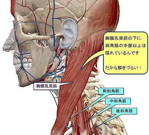 斜角筋は胸鎖乳突筋の下にある.jpg