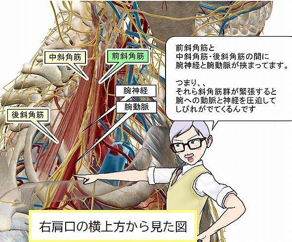 斜角筋を右肩から見た図1.jpg