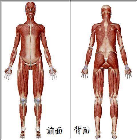 筋・腱・靭帯.jpg