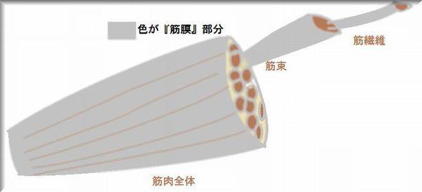 筋肉構成図.jpg