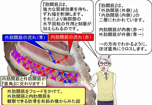 肋間筋の外肋間筋と内肋間筋の筋の流れ.png