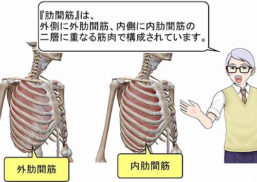 肋間筋の構成.png