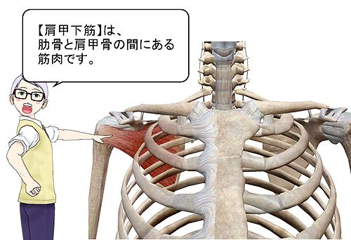 肩甲下筋位置.png