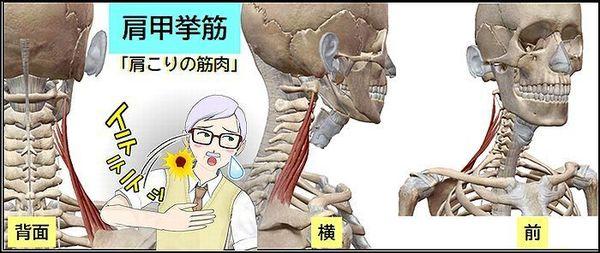肩甲挙筋 肩こりの筋肉2.jpg