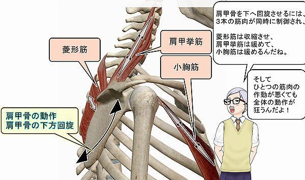 肩甲骨の下方回旋静止画.jpg
