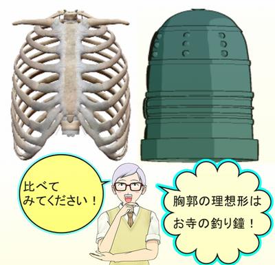 胸郭の理想形.png