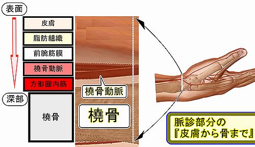 脈診部分の皮膚から骨まで.png
