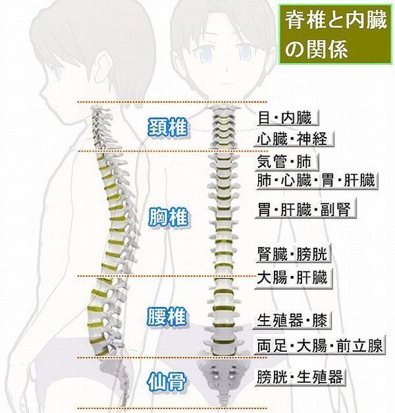脊椎と内臓の関係.jpg