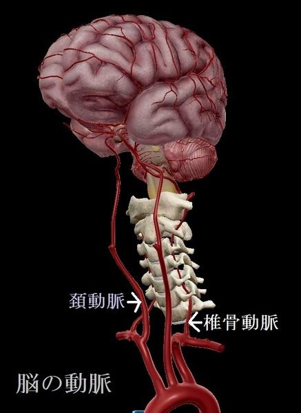 脳の動脈.jpg