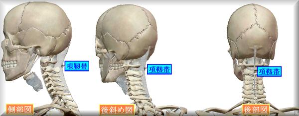 項靱帯図.png