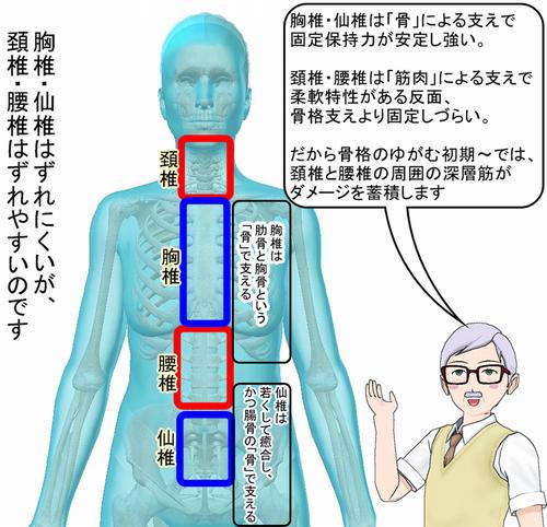 頚椎と腰椎がゆがみやすい構造です.png