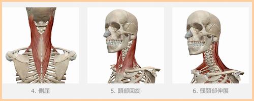 頚部の筋肉.png