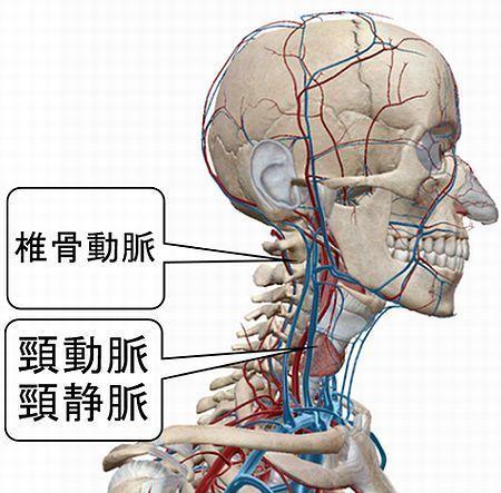 頚部脈管.jpg