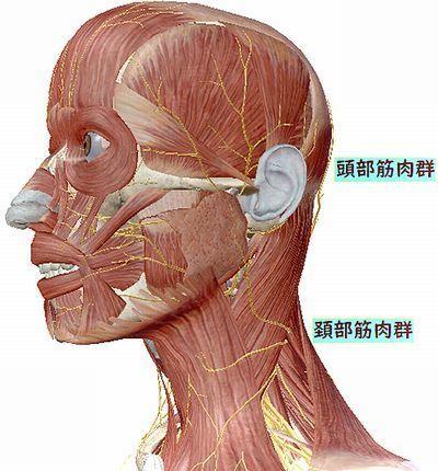頭部筋肉.jpg