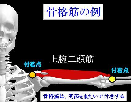 骨格筋の例.jpg