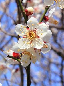 Prunus_mume.JPG